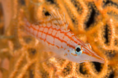 Portrait au nez long de hawkfish Photos libres de droits