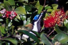 portrait au visage bleu de profil de honeyeater Image stock