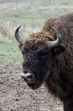Portrait of an aurochs bull Stock Images
