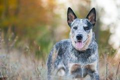 Portrait of Australian cattle dog. Autumn beauty portrait of Australian cattle dog royalty free stock photos