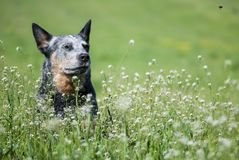 Australian Cattle Dog and flying bee. Portrait of Australian Cattle Dog among flowering meadow looking at a flying bee stock photography