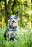 Portrait of Australian cattle dog Stock Photo