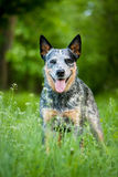 Portrait of Australian cattle dog. Summer beauty portrait of Australian cattle dog stock images