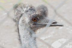Portrait of Australian Emu. Behind the fence Stock Image