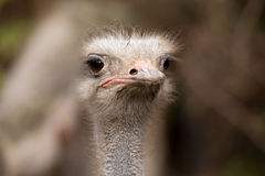 Portrait of Australian Emu (Dromaius novaehollandiae) Stock Image