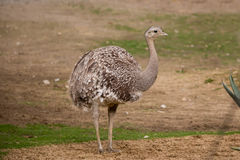 Portrait of Australian Emu (Dromaius novaehollandiae) Stock Images