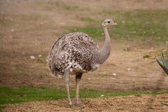Portrait of Australian Emu (Dromaius novaehollandiae). Close up portrait of Australian Emu (Dromaius novaehollandiae) outdoor Stock Images