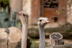 Portrait of Australian Emu (Dromaius novaehollandiae) Stock Photos