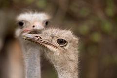 Portrait of Australian Emu (Dromaius novaehollandiae) Royalty Free Stock Photos