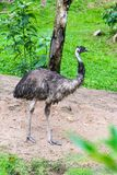 Portrait of Australian emu is walking. royalty free stock photo