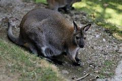 Portrait of australian kangaroo marsupial. Photography of nature and wildlife royalty free stock photo