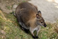 Portrait of australian kangaroo marsupial. Photography of nature and wildlife royalty free stock images