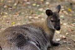 Portrait of australian kangaroo marsupial. Photography of nature and wildlife royalty free stock photography