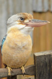 Portrait Australian Laughing Kookaburra Stock Photography