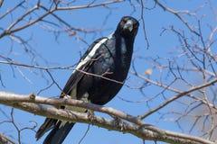 Portrait of Australian Magpie Royalty Free Stock Photos