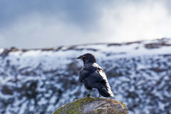 Portrait of Australian Raven gazing at snowy mountains. Stock Photography