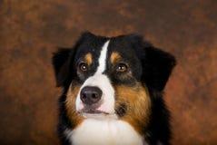 Portrait of Australian Shepherd Royalty Free Stock Photo