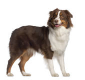 Portrait of Australian Shepherd Royalty Free Stock Photography