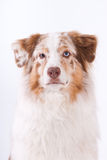 Portrait of Australian shepherd Royalty Free Stock Photos