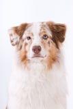Portrait of Australian shepherd Royalty Free Stock Photos