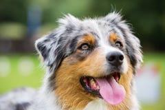 Portrait of an Australian Shepherd dog Stock Images
