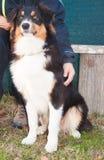 Portrait of australian shepherd dog Royalty Free Stock Photos