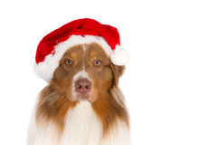 Portrait of an Australian Shepherd wearing a Santa hat, looking in the camera Royalty Free Stock Photos