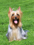 The portrait of Australian Silky Terrier on a green grass lawn royalty free stock image