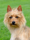 The portrait of Australian Terrier Royalty Free Stock Images