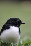 Portrait of an Australian Willy Wagtail Royalty Free Stock Photos