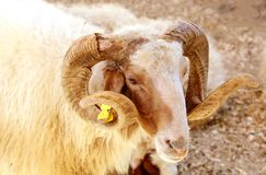 Portrait of a Awassi sheep Stock Images