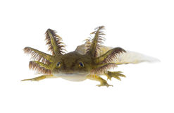 Portrait of a Axolotls are members of the Ambystoma tigrinum (Ti Royalty Free Stock Image