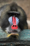 Portrait of Baboon Stock Photos