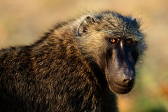 Portrait of a baboon. /  In beams of a rising sun the baboon has turned back Stock Photography