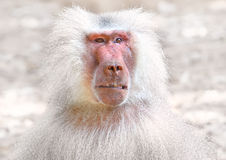 Portrait of baboon Royalty Free Stock Photos