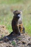 Portrait of a Baboon Stock Photography