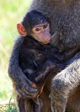 Portrait of a Baboon Stock Image