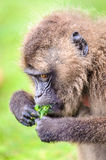 Portrait of a baboon Stock Images