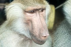 Portrait of a baboon. Close-up portrait of baboon monkey looking sideways royalty free stock photo