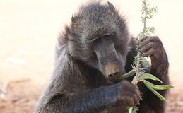 Eating baboon. A portrait of a baboon eating a plant stock photos