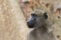Portrait of baboon face close-up in nature Royalty Free Stock Photos