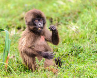 Portrait of a baboon. Fat little baboon from Ethiopia stock photo