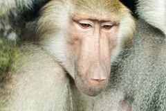 Portrait of a baboon female. Close-up portrait of baboon monkey looking down stock photos