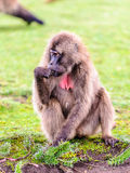 Portrait of a baboon Royalty Free Stock Photo