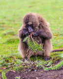 Portrait of a baboon. Hamadryas baboon (Papio hamadryas) eats plants in Ethiopia stock photos
