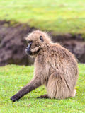 Portrait of a baboon. Hamadryas baboon (Papio hamadryas), a species of baboon from the Old World monkey family royalty free stock photography