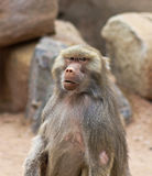 A Portrait of a Baboon with an Intense Stare. A Baboon, Genus Papio, with an Intense Stare royalty free stock photography