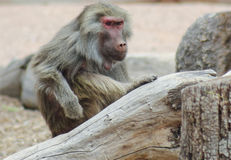 A Portrait of a Baboon with an Intense Stare. A Baboon, Genus Papio, with an Intense Stare royalty free stock photos