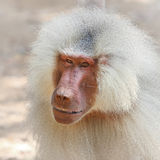 Portrait of baboon monkey Stock Image