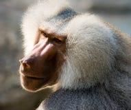 Portrait of a baboon monkey. Papio hamadryas royalty free stock photography